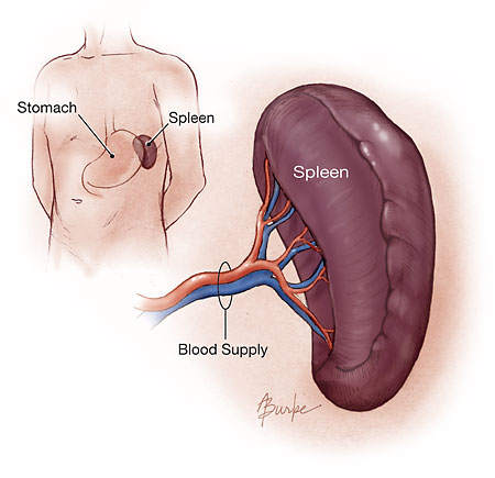 spleen | beatingcowdens, Human Body